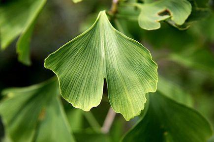 Polepszaj pamięć i koncentrację oraz opóźnij proces starzenia dzięki liściom z miłorzębu japońskiego