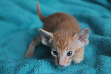 Koty orientalne krótkowłose