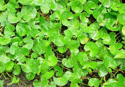 Gotu Kola - zioło, które wspiera mózg