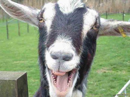 Koza  domowa – zwierz hodowlany – cz.1 = na wesoło