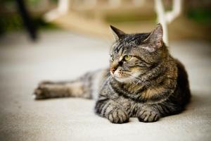Spokojny kot może wyjść z domu