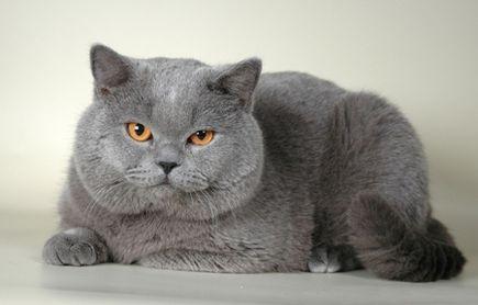 Animonda i kot brytyjski krótkowłosy to dobry duet?