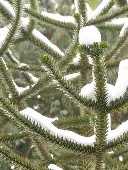 Jodła kaukaska – idealna choinka bożonarodzeniowa
