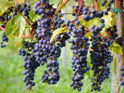 Winogrona-jakie lecznicze mikstury można z nich przyrządzić?