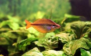 1390260_rainbowfish