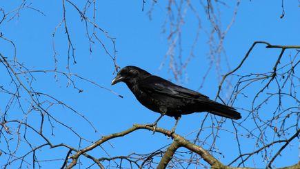 Wrona wśród drzew, czyli kilka faktów o ptasiej mądrości