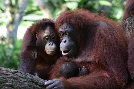 """Czy zdążymy ocalić orangutana - """"człowieka lasu""""?"""