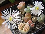 Żywe kamienie (Lithops). Niezwykłe rośliny doniczkowe