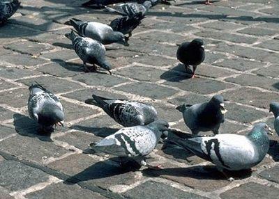 Skuteczne sposoby na odstraszanie gołębi