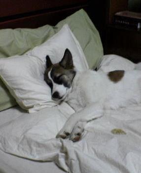 Jak wychować psa, aby nie spał na naszym łóżku