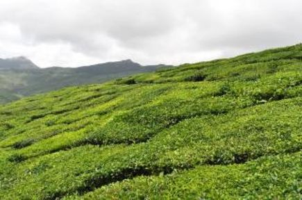 Czy znasz rodzaje herbaty?