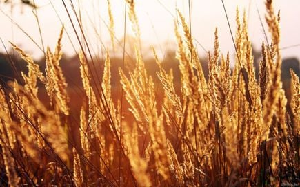 Trawa pampasowa (Cortaderia selloana) – najpiękniejsza trawa w Twoim ogrodzie