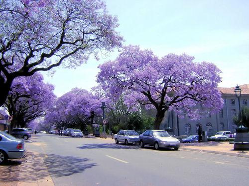 Drzewa jacarandy w Stolicy RPA, Pretorii