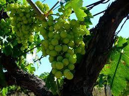 Produkcja domowego wina – pytania i odpowiedzi
