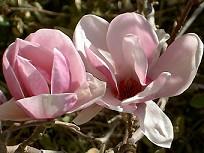 Magnolia soulageana