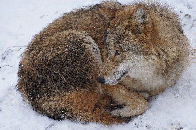 Jak naukowcy obserwują wilki?