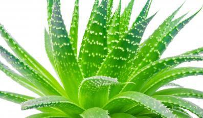Aloes  -  zielony lekarz