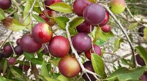 Czy znamy owoce Camu Camu?