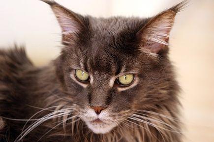 Czym karmić rasowego kota?