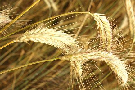 Maszyny rolnicze do transportu ziarna