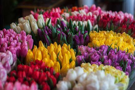 Tulipany – jedne z najpopularniejszych kwiatów ciętych