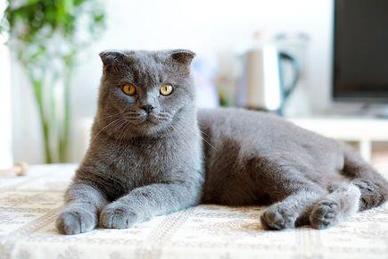 Koty brytyjskie - kilka słów o nich