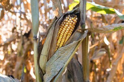 Jak uprawiać kukurydzę?