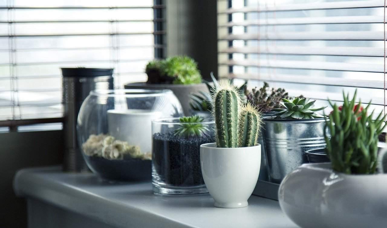 Uprawa kaktusa Wielkanocnego  Hatiota lub Ripsalidopsis