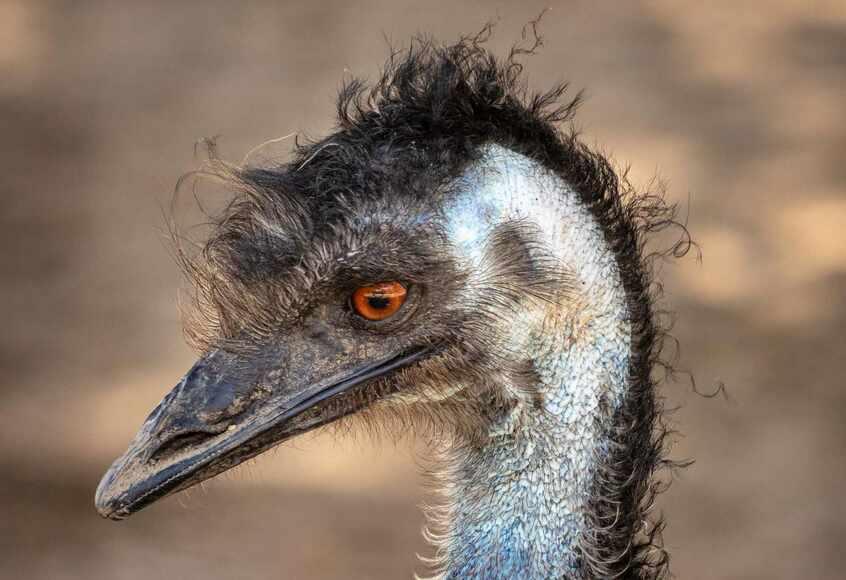 10 interesujących ciekawostek o emu