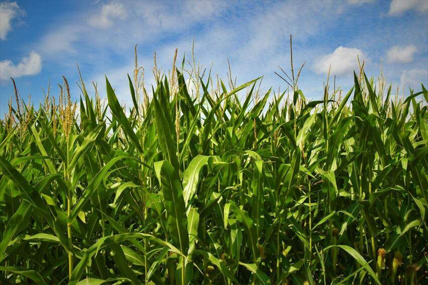 3 kwestie, od których zależy skuteczność upraw kukurydzy